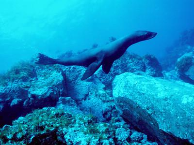 Guadalupe fur seal 2, Guadalupe Island, Baja, Mexico