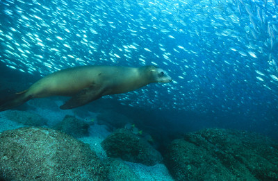 California sea lion 8,  Sea of Cortez