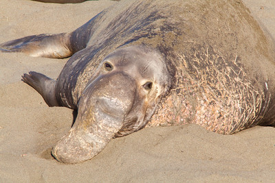 Bull Elephant seal on the beach, Piedras Blancas, San Simeon
