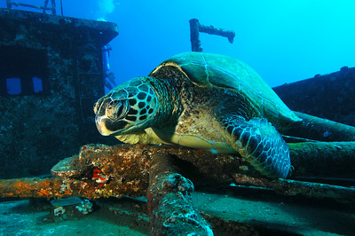 Green Sea Turtle 7, Maui Hawaii