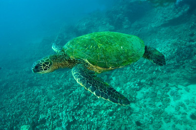 Hawaiian Green sea turtle 2, Maui