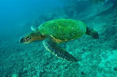 Hawaiian Green sea turtle 2, Maui