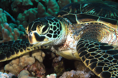 Hawaiian Green sea turtle 6, Maui