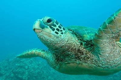 Hawaiian Green sea turtle 9, Maui, Hawaii