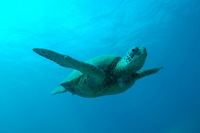 Hawaiian Green sea turtle 3, Maui