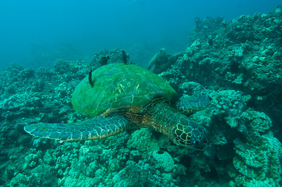 Green Sea Turtles at a cleaning station, Maui, Hawaii