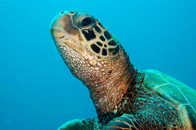 Hawaiian Green sea turtle 8, Maui, Hawaii