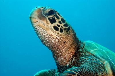 Hawaiian Green sea turtle 8, Maui, Hawaii