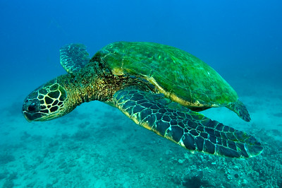 Hawaiian Green sea turtle, Maui