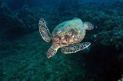 Hawaiian Green sea turtle 5, Maui