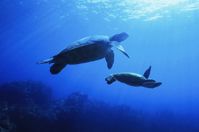 Pair of Hawaiian Green sea turtles, Maui