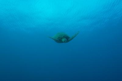 Hawaiian Green sea turtle, Maui, Hawaii