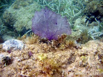 Coral Fan