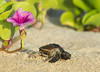 Pink - Loggerhead Sea Turtle Hatchling next to Railroad Vine flower