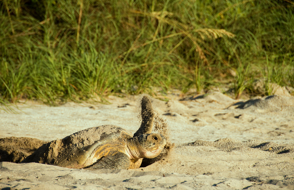 Green Sea Turtle - Leaving the nest