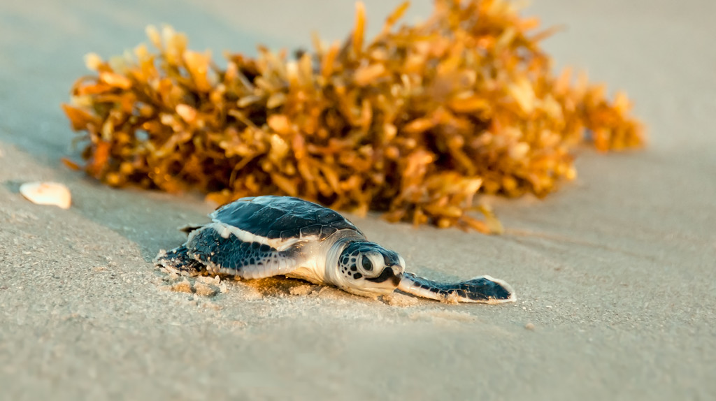 Green Sea Turtle Hatchling - Rushing Past the Seaweed