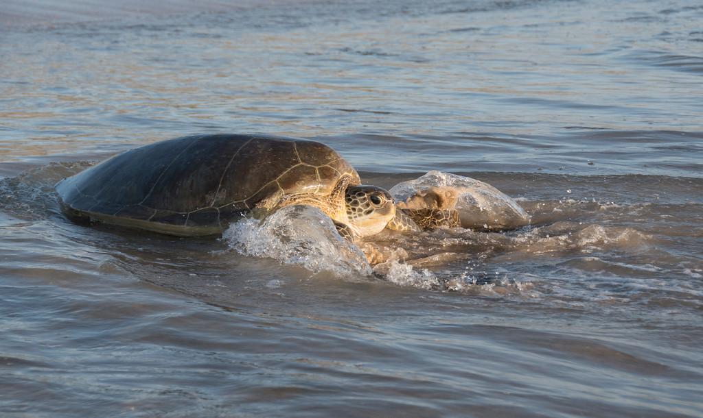 Making Waves - Green Sea Turtle