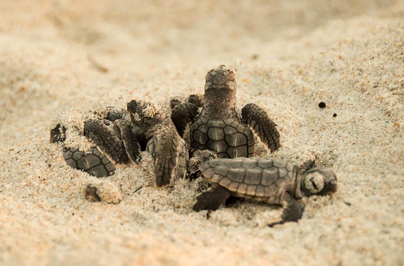 Nest Emergence - Loggerhead Sea Turtle Hatchlings