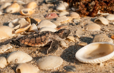 Among the shells - Loggerhead Sea Turtle Hatchling - Archie Carr National Wildlife Refuge - Brevard County, FL