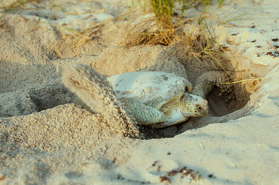 Green Sea Turtle Covering Her Nest at Sunrise
