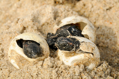 Loggerhead Sea Turtle Hatchlings - Archie Carr National Wildlife Refuge - Brevard County, FL