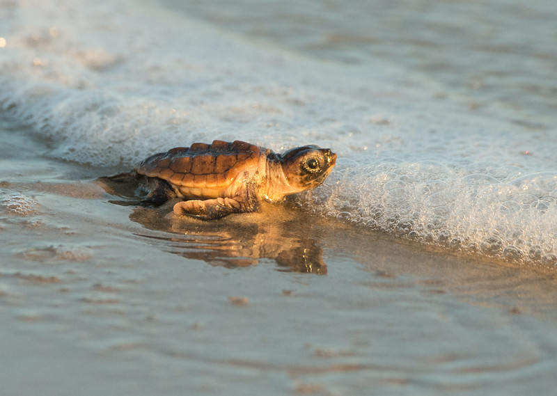 At the Ocean - Loggerhead Sea Turtle Hatchling