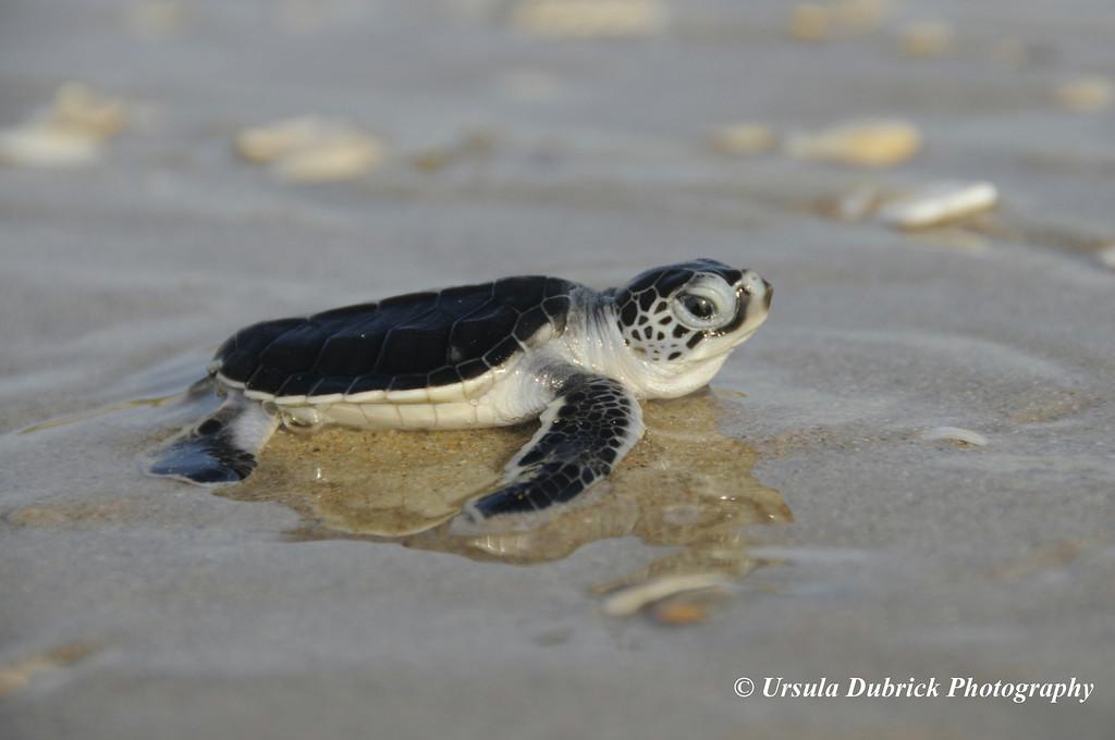 Green Sea Turtle Hatchling - Archie Carr National Wildlife Refuge - Brevard County, FL