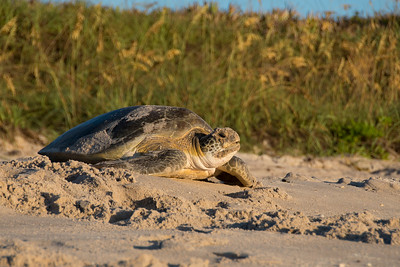 Green Sea Turtle - making the arduous  journey back to the ocean after nesting in the sand dunes.