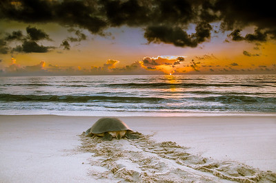 Sunrise Turtle - Green Sea Turtle