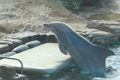 Bottlenose Dolphin at Play