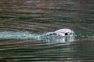 long-tailed duck in winter coastal water