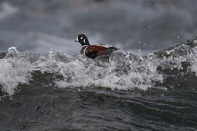 Harlequin duck Histrionicus histrionicus, Atlantic Ocean,