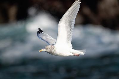 Immature herring gull in flight over surf