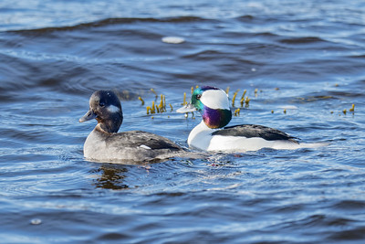bufflehead ducks male and female seaducks