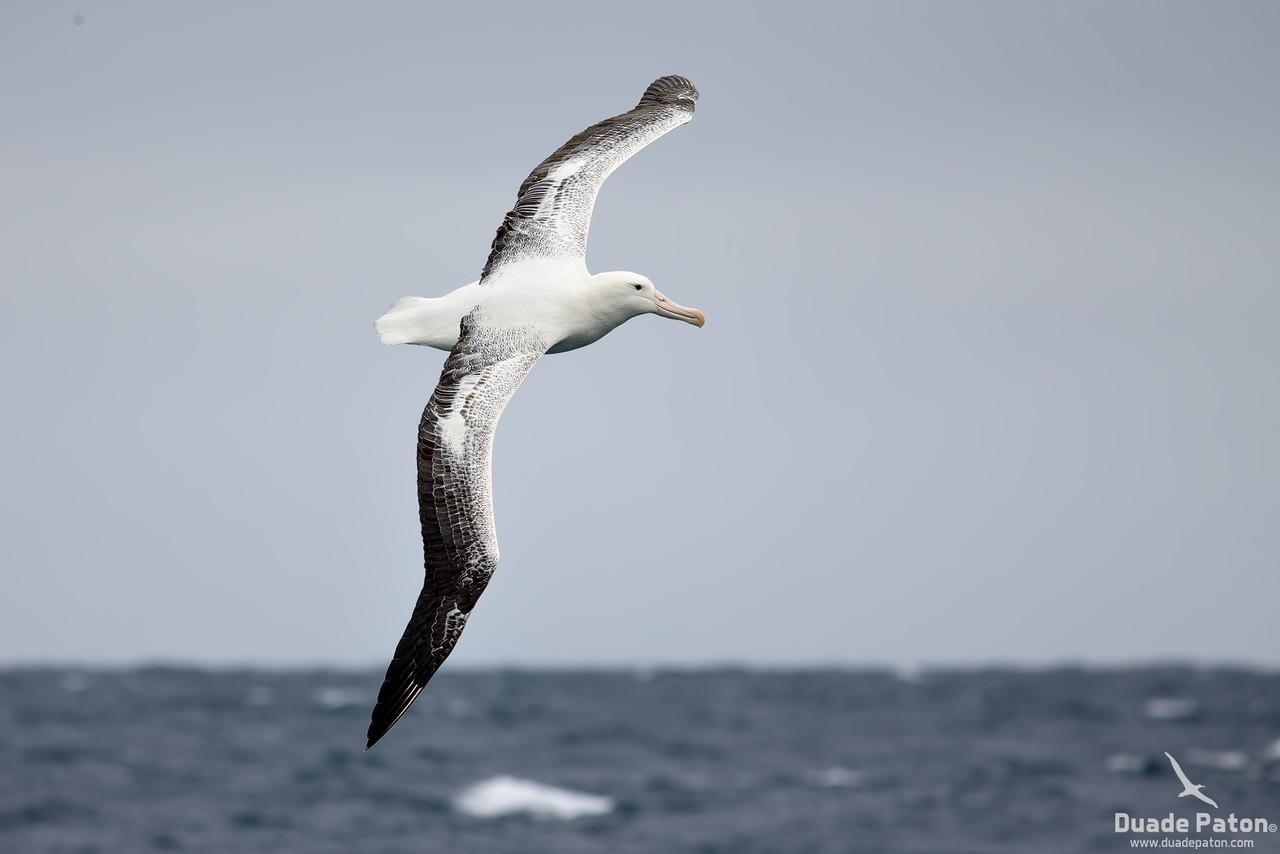 Southern Royal Albatross