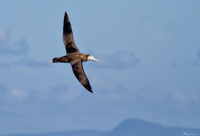 Wandering Albatross Juvenile (Diomedea exulans)