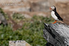 Puffin (Fratercula arctica).<br /> Varanger (Norway), July 2004.<br /> Esp: Frailecillo<br /> Cat: Fraret