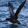 Sooty Shearwater, 25 March 2012