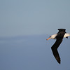 Black-browed Albatross, 25 March 2012