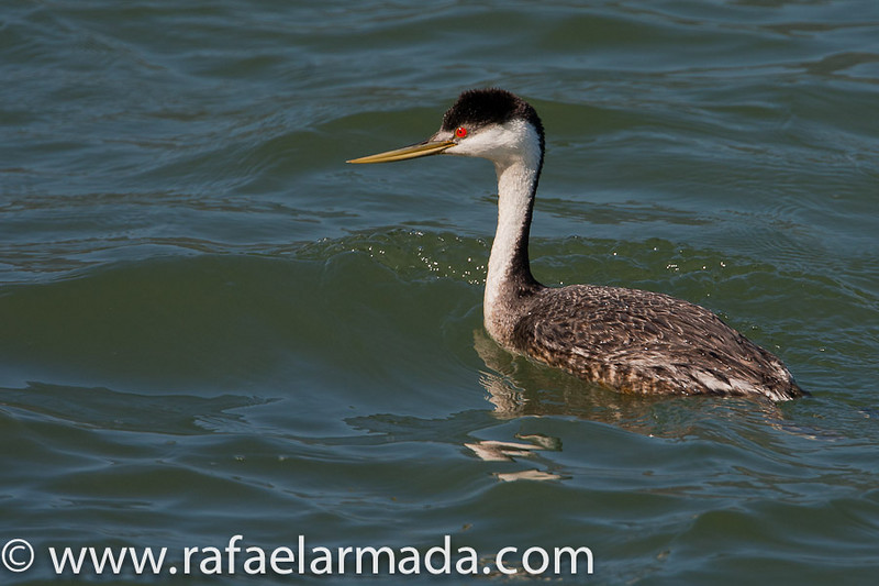 Western Grebe (Aechmophorus occidentalis).<br /> Point Reyes (California, USA), April 2009.