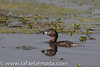 Pied-billed Grebe (Podilymbus podiceps).<br /> Oakdale (California, USA), April 2009.<br /> Esp: Zampullín picogrueso