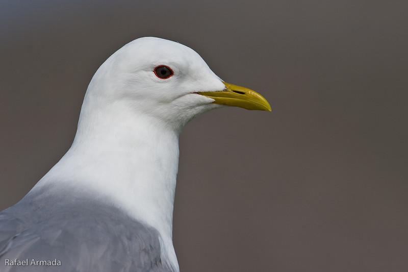 Common Gull (Larus canus), Adult. Drumbeg (Scotland), June 2006<br /> Esp: Gaviota cana<br /> Cat: Gavina cendrosa