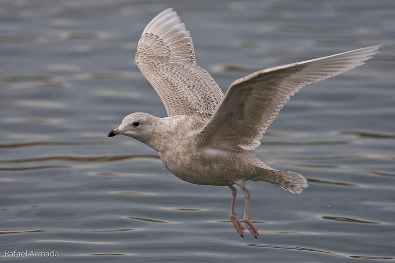 Iceland Gull (Larus glaucoides), 2on Winter.<br /> Cambrils harbour (Tarragona, Catalonia, Spain), February 2009.<br /> Esp: Gaviota groenlandesa<br /> Cat: Gavinot polar