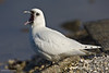 Ivory Gull (Pagophila eburnea), 2on Winter. Arcachon (Bordeaux, France), February 2009.<br /> Esp: Gaviota marfil