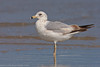 Ring-billed Gull (Larus delawarensis).<br /> Cape Hatteras (North Carolina, USA), May 2010.<br /> Esp: Gaviota de Delaware<br /> Cat: Gavina de Delaware