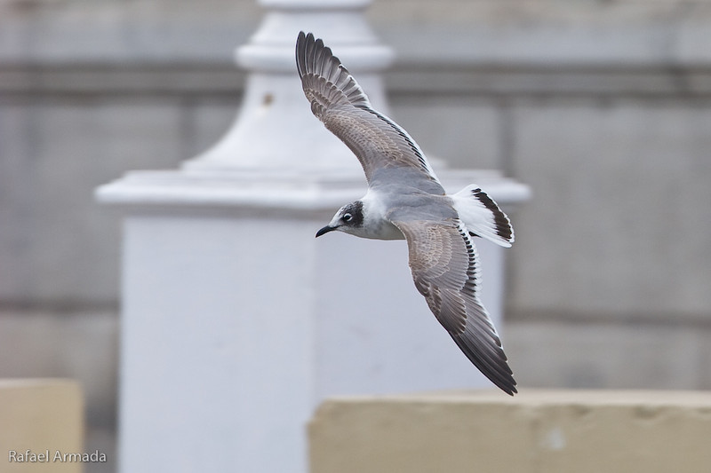 Franklin's Gull (Leucophaeus pipixcan), 1st Winter