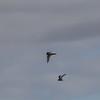 Fairy Tern (Sternula nereis)