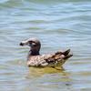 Pacific Gull (Larus pacificus) (Juvenile)