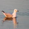 Silver Gull (Chroicocephalus novaehollandiae)