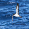 Cory's Shearwater with eel